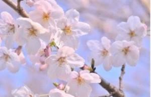 桜FullSizeRender